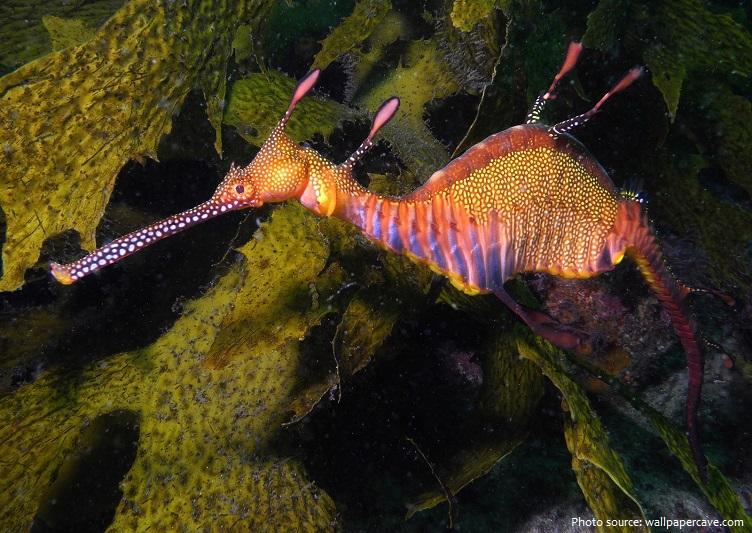 common-seadragon-2