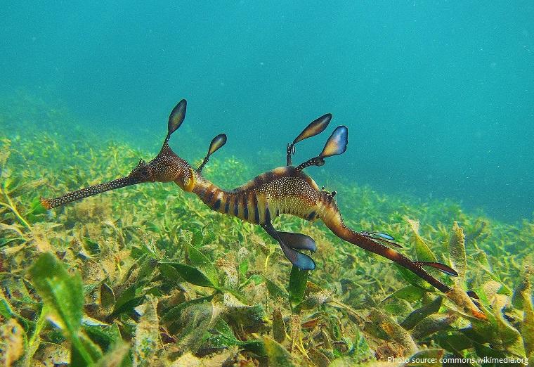 common-seadragon-4