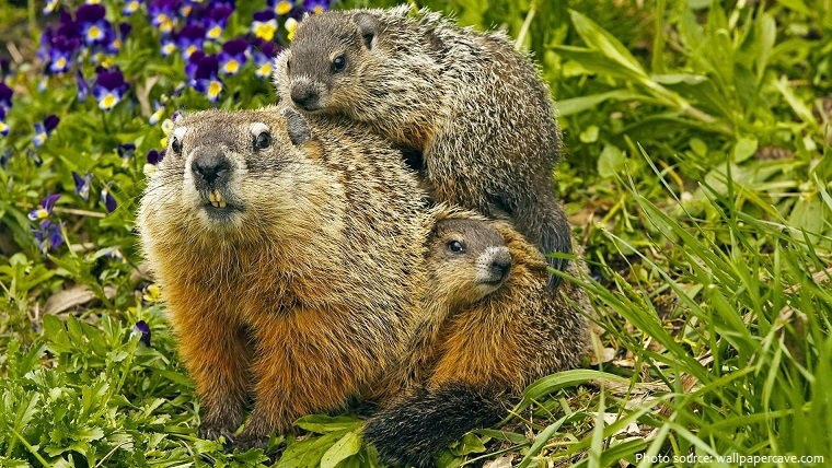 groundhog with youngs