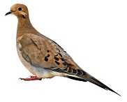 mourning-dove-3
