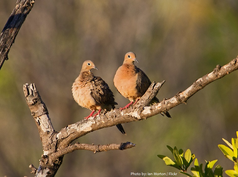 mourning dove cople