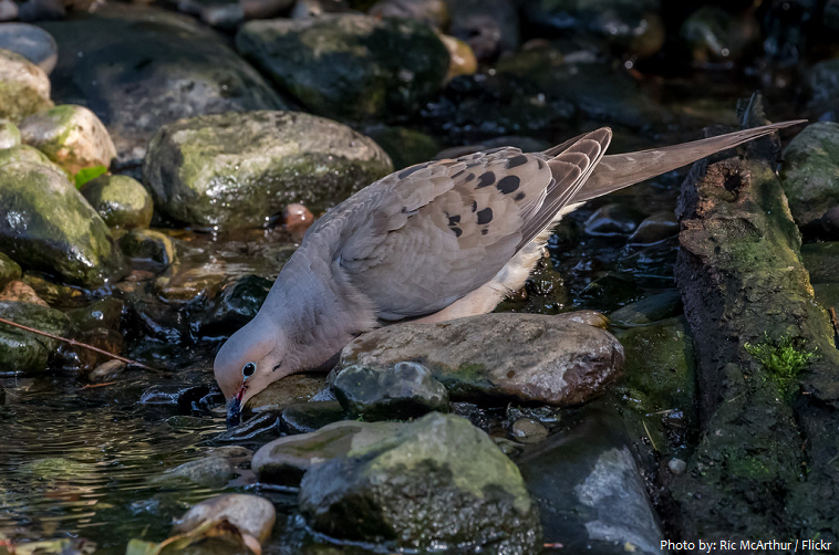 mourning dove drinking water