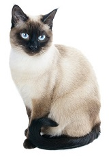 siamese-cat-3