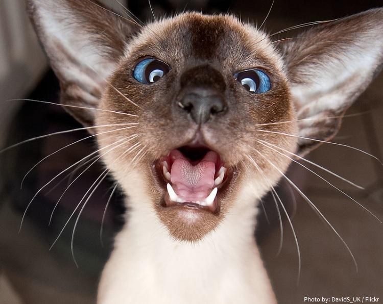 siamese kitten meow