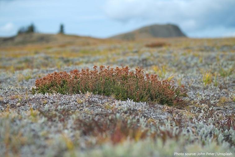 arctic tundra flowers