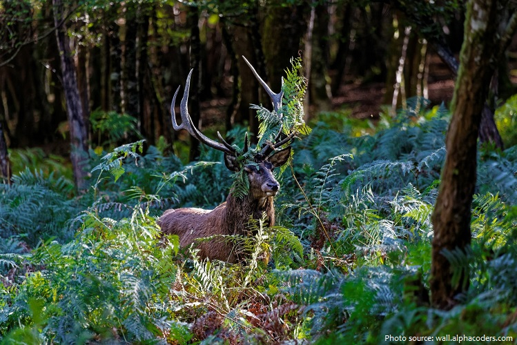 deciduous forest deer