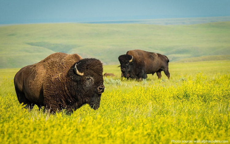 grassland bisons