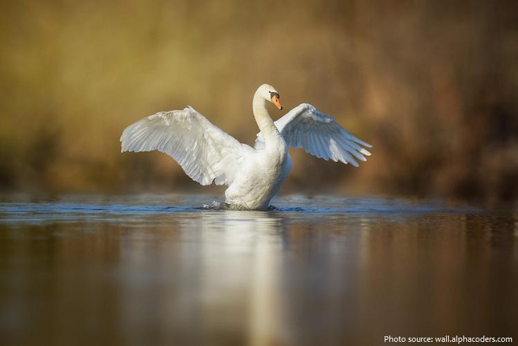 mute-swan-2