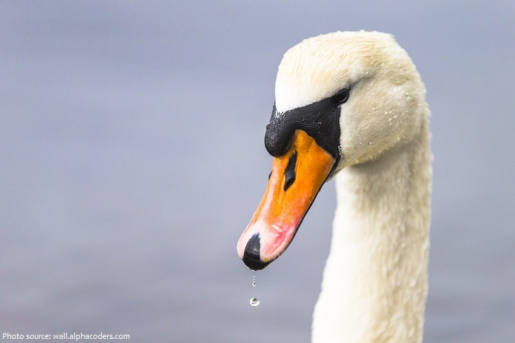 mute-swan-3