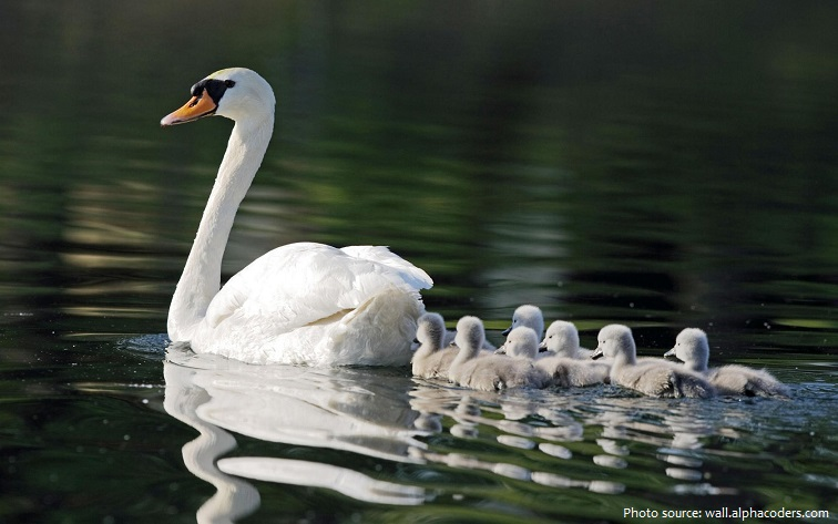 mute swan mother and chicks
