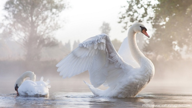 mute-swans-2