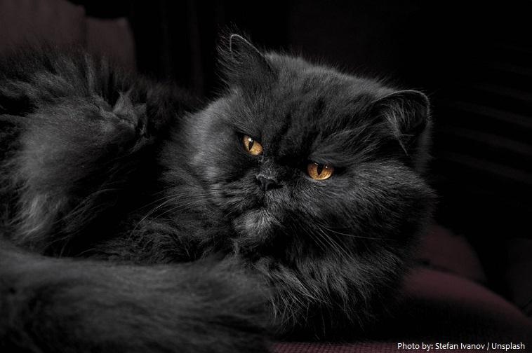 persian-cat-3