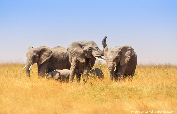 savanna elephants