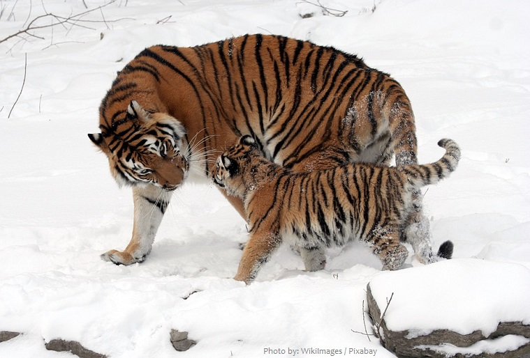 siberian tiger mother with cub