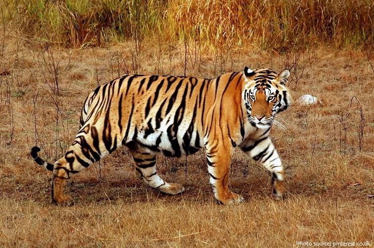 bengal-tiger-3