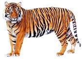 bengal-tiger-6