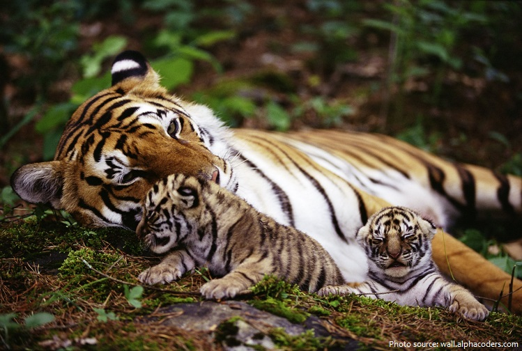 bengal tiger mother and cubs