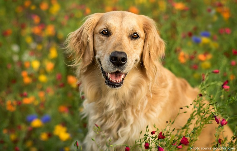 golden-retriever-4