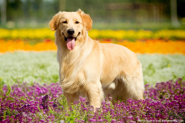 golden-retriever-5