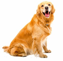 golden-retriever-6