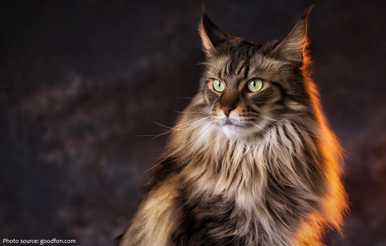 maine-coon-2