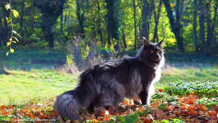maine-coon-4