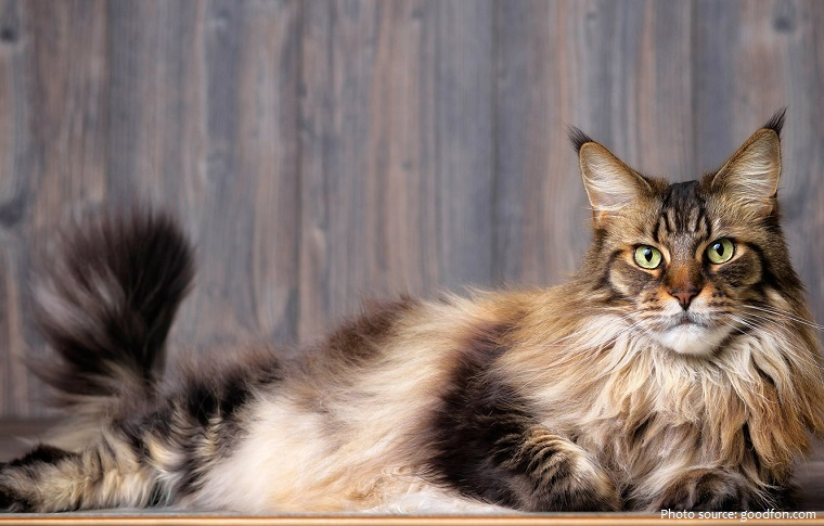 maine-coon-5
