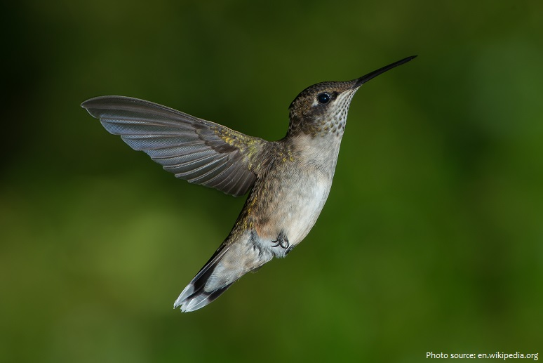 ruby-throated-hummingbird-2