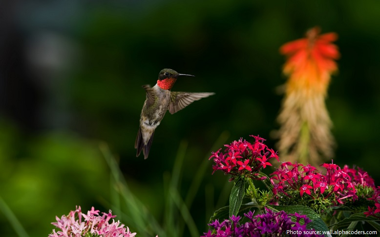 ruby-throated-hummingbird-4