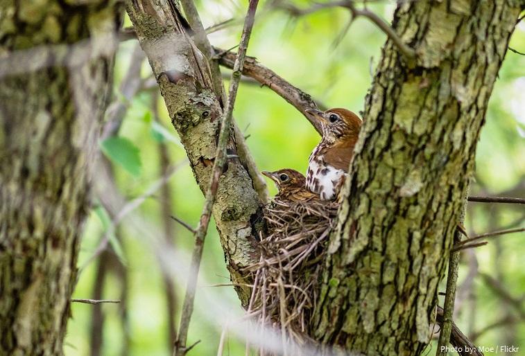 wood thrush nest