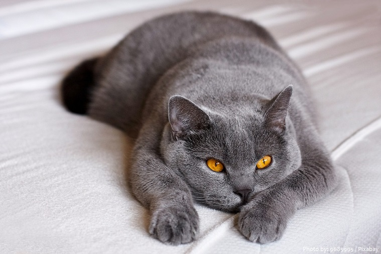 british-shorthair-4