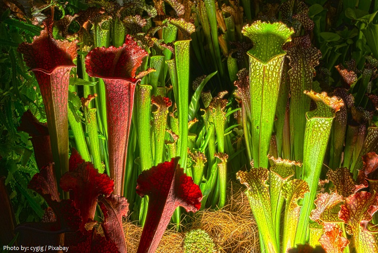 carnivorous-plants-5