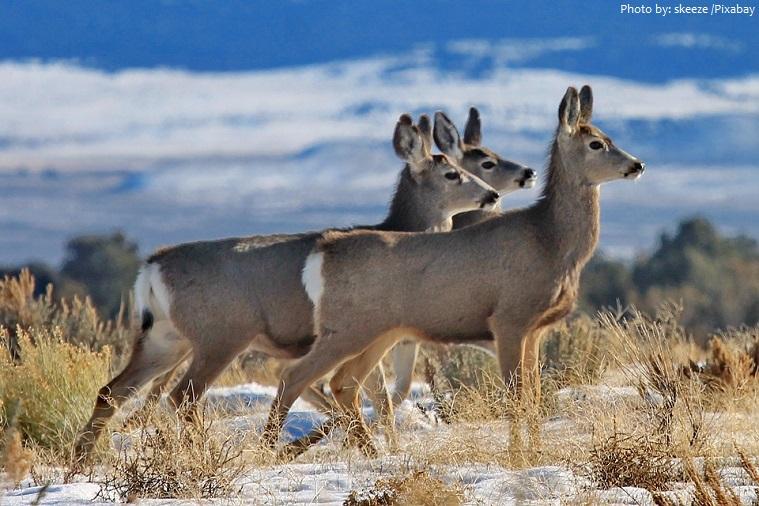 mule-deer-2