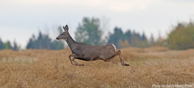 mule-deer-5