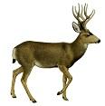 mule-deer-7
