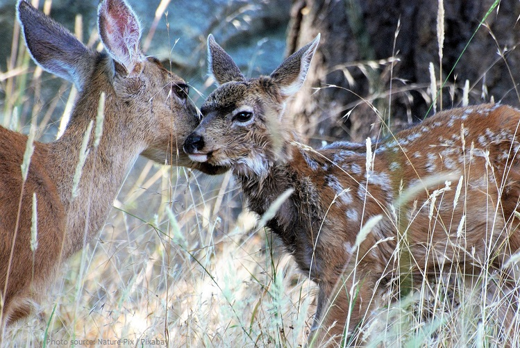 mule deer mother and fawn