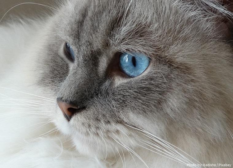 ragdoll-cat-2