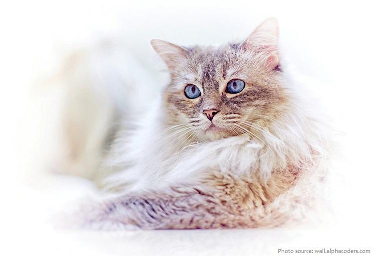 ragdoll-cat-5