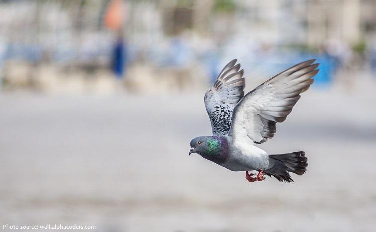 rock-dove-2
