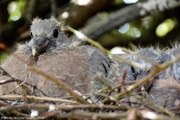 rock dove chicks