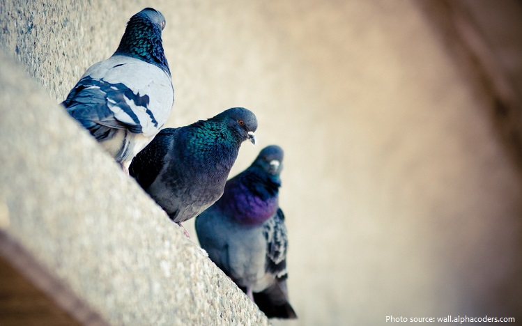 rock-doves-2