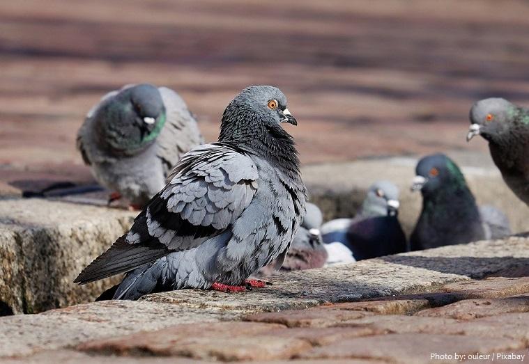 rock-doves-3