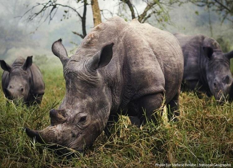 white-rhinoceros-4