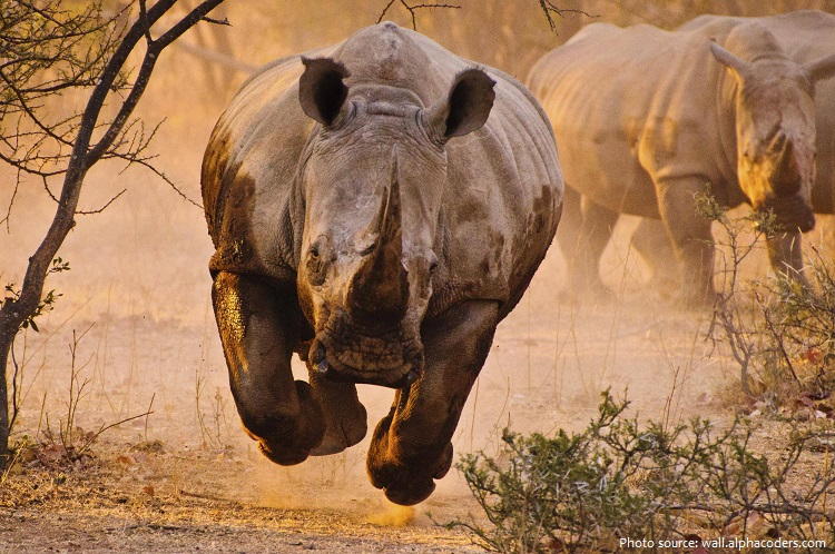 white-rhinoceros-5
