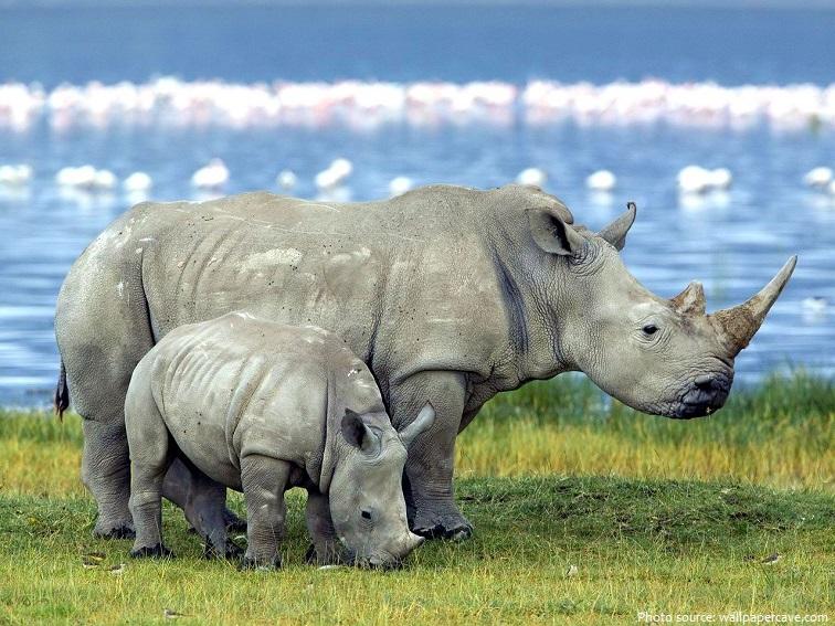 white-rhinoceros-6