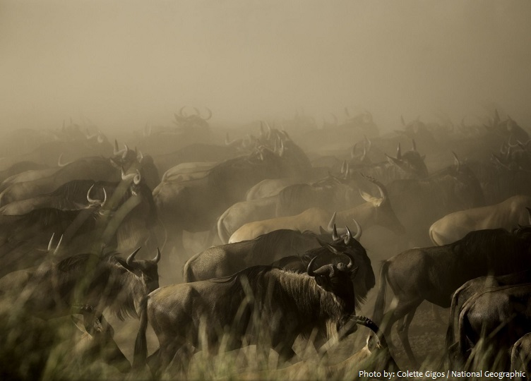 wildebeest-4