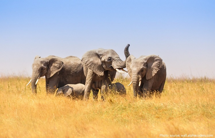 african-bush-elephants-2
