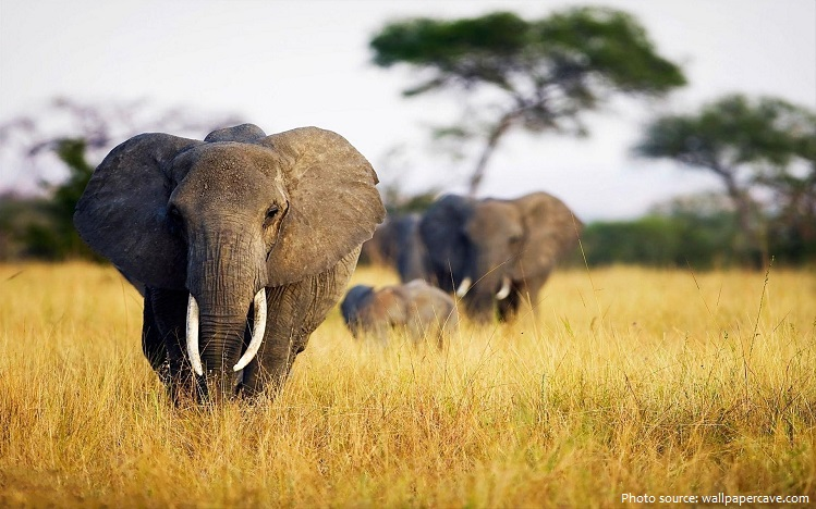 african-bush-elephants-3