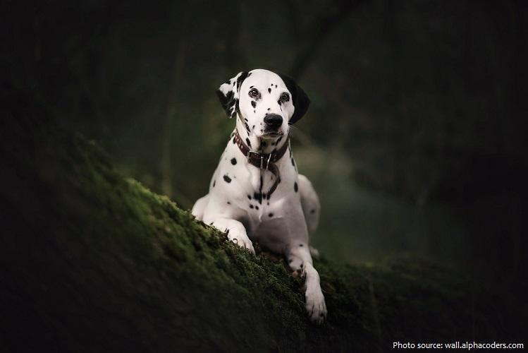 dalmatian-3