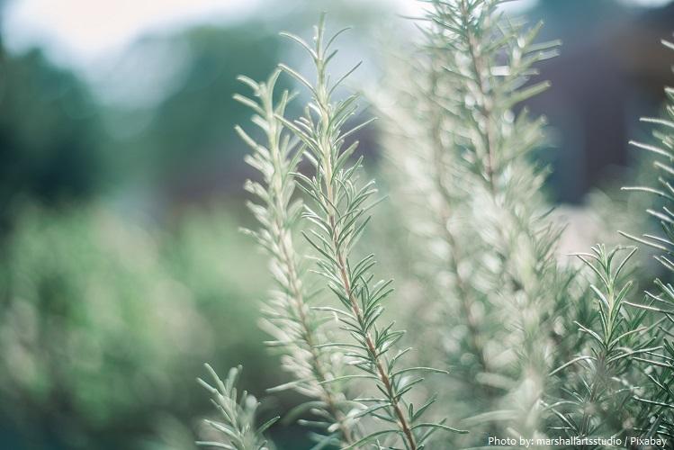 herbs-5